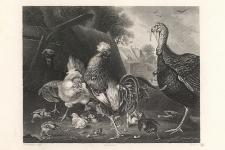 Le coq d'Inde et les Poules / Turkey & Fowls / Fruthahn & Hühner / Indyk i kury