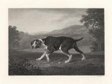 Sporting Dog / Jagd Hund / Pies myśliwski