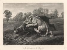 La Lionne et le Sauglier / Liones and Boar / Die Löwin u.d. Wildeschwein / Lwica i dzik